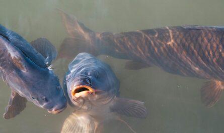 Kapr obecný vykukující z rybníka.