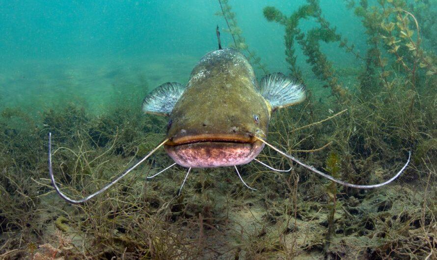 Sumec velký patří k největším sladkovodním rybám