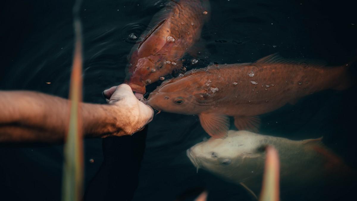 Zakrmování ryb v praxi na rybníku.